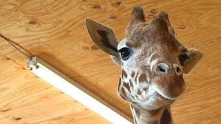 Live-stream of zoo giraffe birth shut down by YouTube for