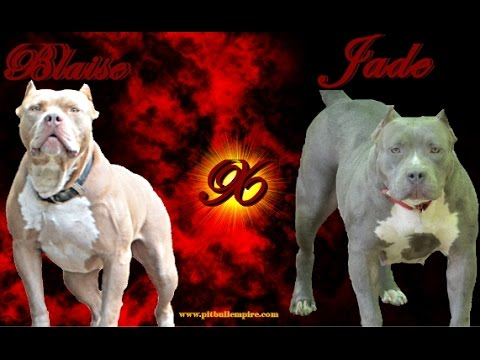 XL Bully Pitbull Puppies For Sale September 2015