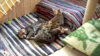 BENGAL KITTENS - Бенгальские котята из Санкт-Петербурга