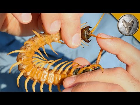 Centipede Bite Worse Than ALL Stings?!