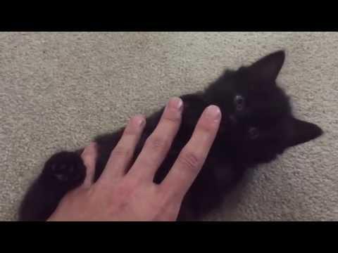 4 Weeks Old Kitten - Playful Shelby (Half Breed British Short Hair)
