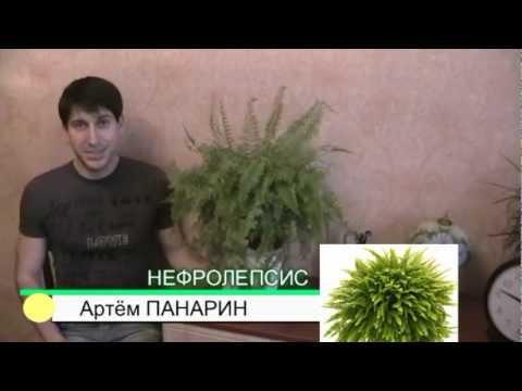 нефролепсис папоротник комнатные растения А. Панарин #ботаника #папоротник #растения #цветы
