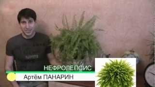 нефролепсис папоротник комнатные растения А. Панарин