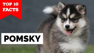 Pomsky  Top 10 Facts