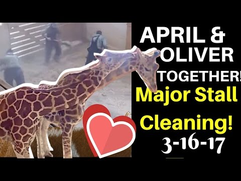 Thumbnail: Now That's TEAMWORK! April & Oliver Share a Pen & Nuzzle as Staff Clean House! April the Giraffe