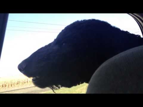 Hairy Standard Poodle riding in the backseat of a car