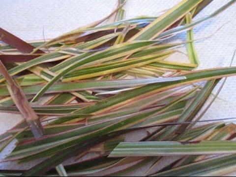 Растение салат (фото) виды выращивание посадка и уход