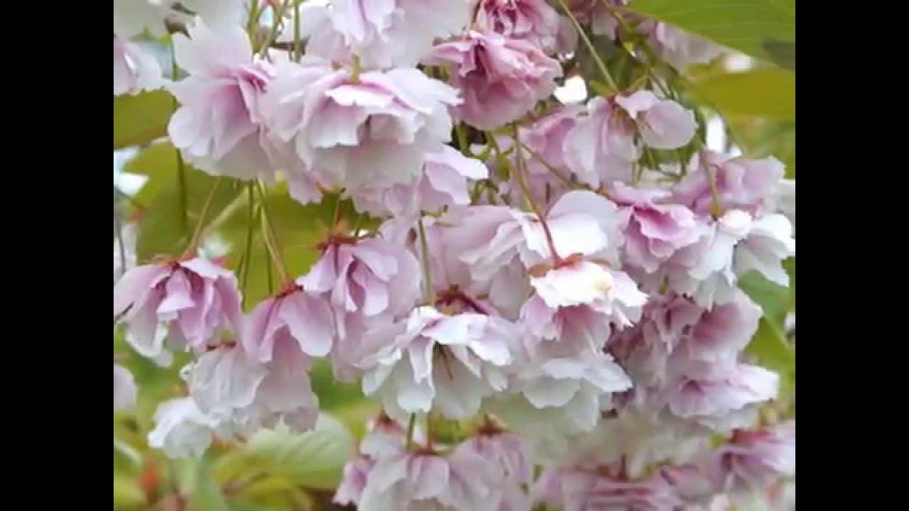 Prunus Shirofugen Japanese Flowering Cherry Youtube