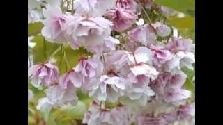 Prunus 'Shirofugen' video