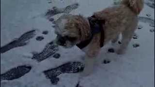 Shih Tzus Playing In The New York City Snow: 3 Year Old Rescued Shih Tzu Lazer Enjoys The Snow!