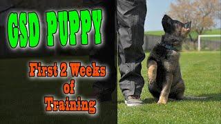 German Shepherd Puppy Training  First 2 weeks of training / 4K