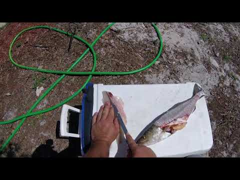 Cleaning speckled trout easy