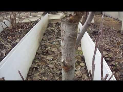 Вопрос: Когда обвязывать деревья на зиму от мышей?