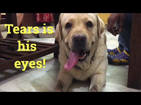 ABANDONED LABRADOR GETS A HOME | Wildly Indian
