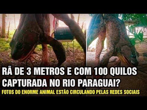 Rã Gigante de 3 Metros e Cerca de 100 Quilos Teria Sido Encontrado no Rio Paraguai? (M. A. #271)