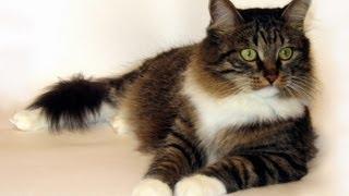 Сибирская кошка!!