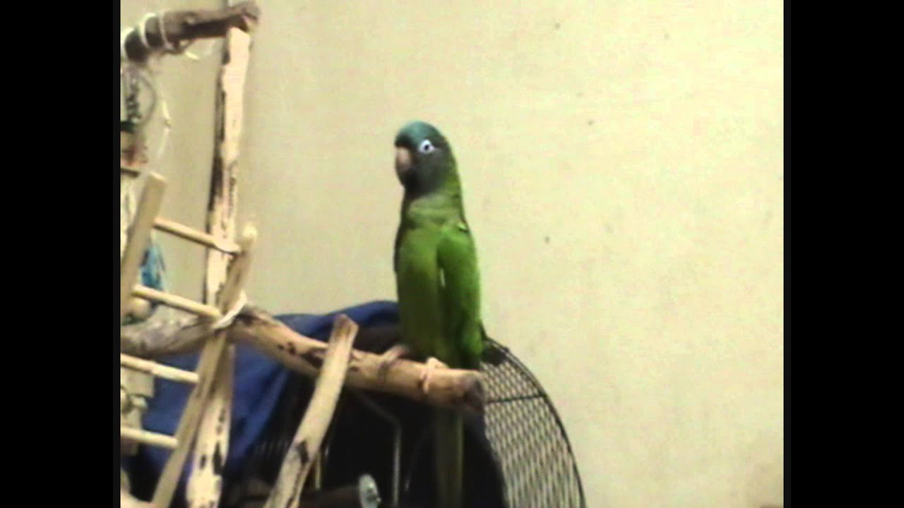 How loud is a Blue Crown Conure