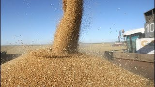 Уборка пшеницы 2018. Убираем не спешно пшеницу, делимся мыслями и планами