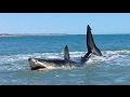 watch he video of Pearson Brothers Winery films 15 ft white shark in 3 ft of water