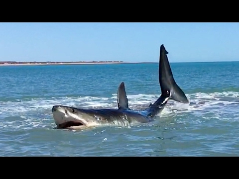 Thumbnail: Pearson Brothers Winery films 15 ft white shark in 3 ft of water