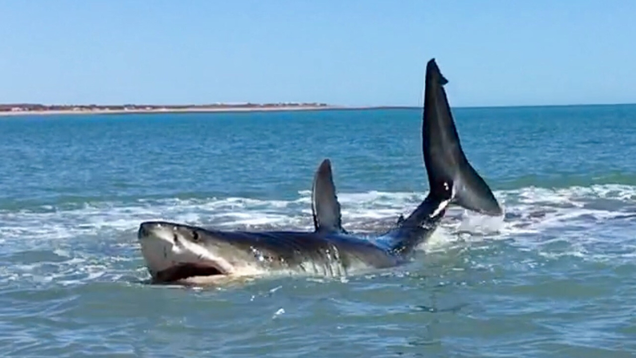 Huge shark jumping out of the water – Like For Real Dough