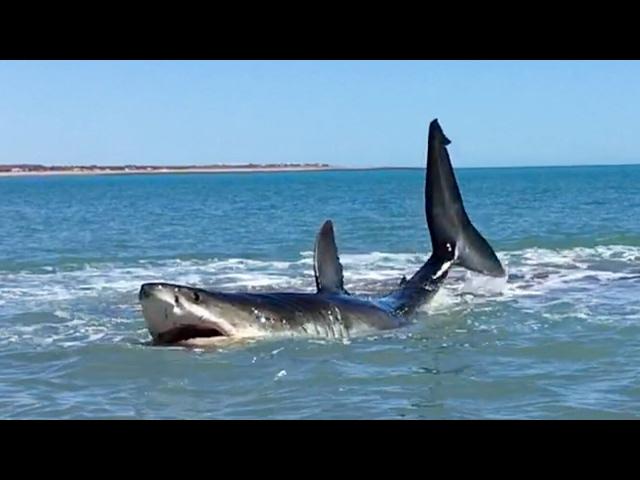 Se encuentra con un enorme tiburón de casi 5 metros en la orilla de la playa