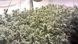 Super Lemon Haze Flower Room Day 49 8000 Watts