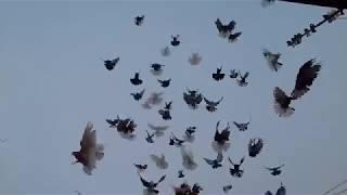 Николаевские голуби десяти мастей (полет) г.Мариуполь