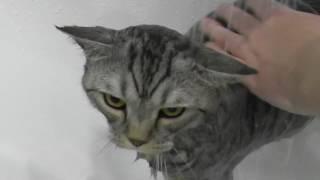 Как помыть кота.