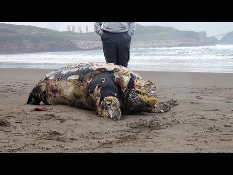 CRÓNICA Tortuga gigante muerta en playa Salinas. Leatherback sea turt dead