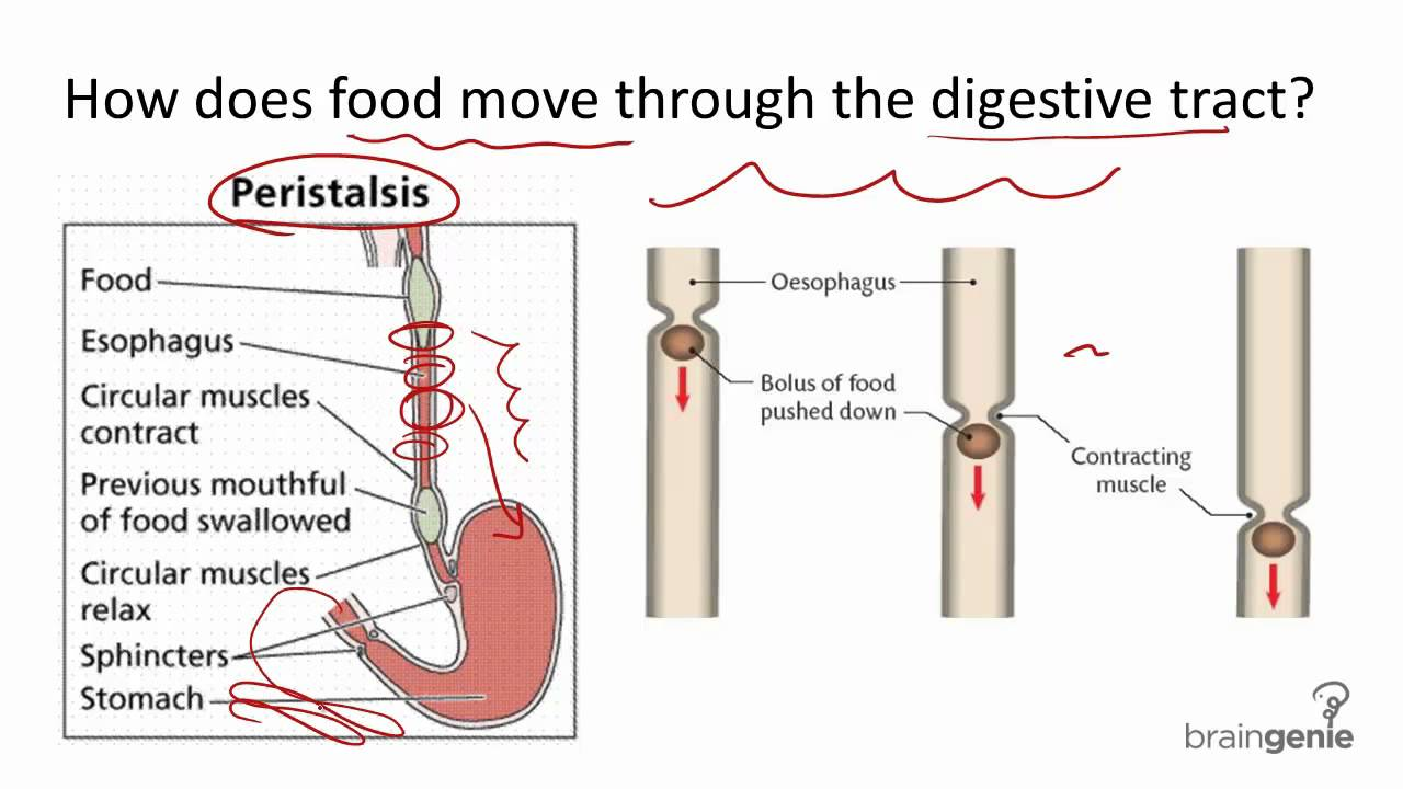 Essay on the Digestive System (For Students) | Human Physiology