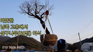 따뜻한 남쪽 고흥에서 살구나무(60점) 이식 #소나무판…