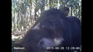 White-lipped peccary munching and checking out the Camera!