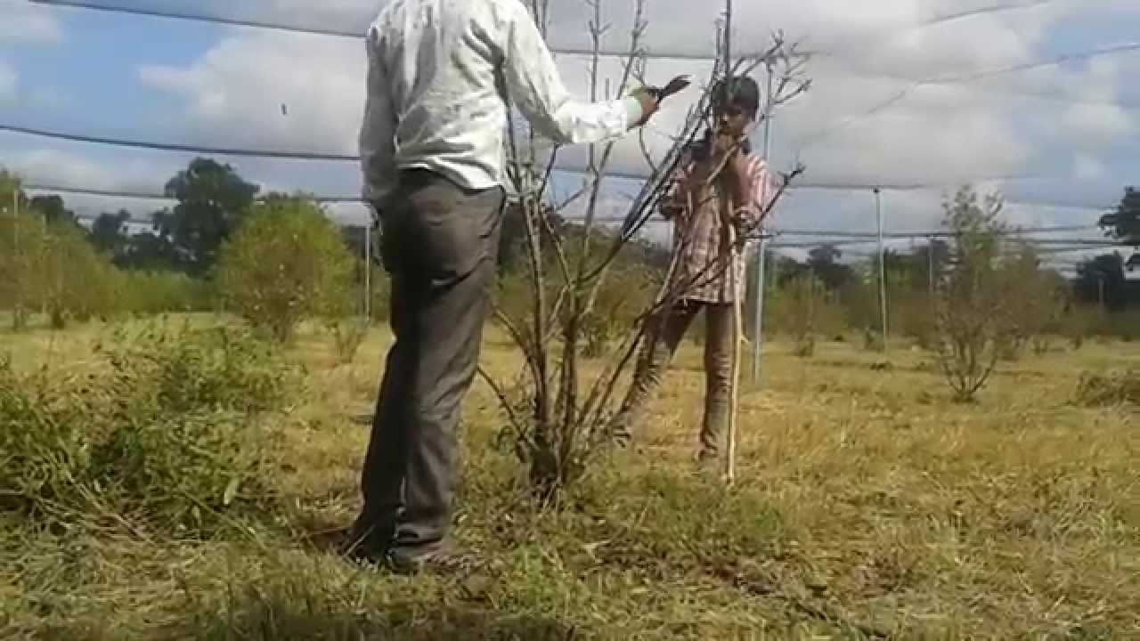 Pruning Pomegranate Trees Youtube