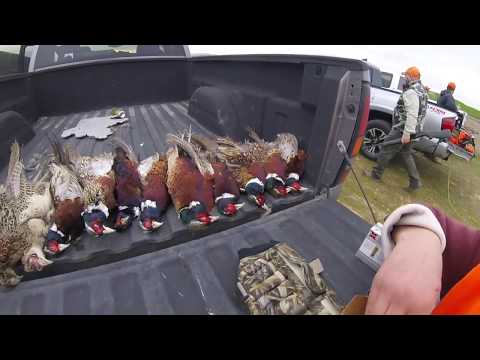 California Pheasant Hunting