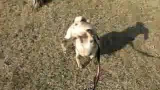 Acrobat Pug Takes A Whiz Walking On His Front Paws!