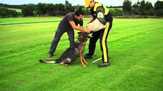 Elina - German Shepherd Female In Protection Training - Gilzak Kennel