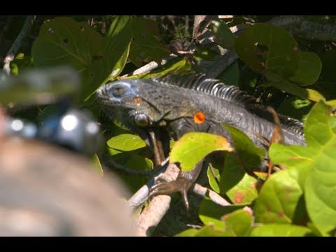 A Blow Gun Hunt For Florida's Giant Iguanas