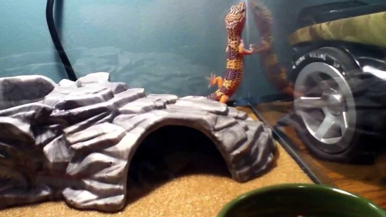 my new leopard gecko zora from petco youtube
