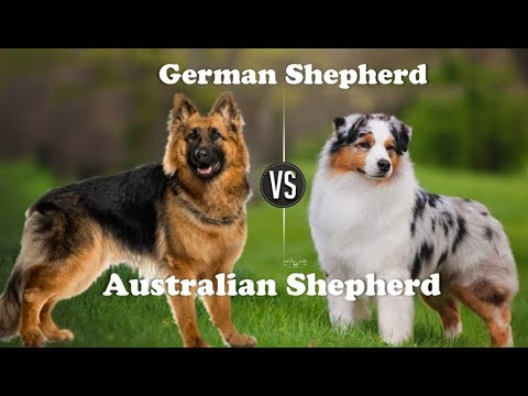 German shepherd Vs Australian shepherd dog (Breed info. and comparison)