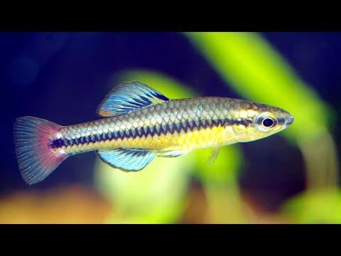 Wild Caught Bluefin Killifish Tank