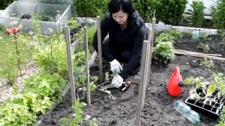 Jak sadzić pomidory | www.Kasia.in