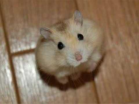 animals cute sweet animal hamster