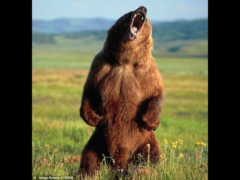 GRIZZLY BEAR mauls man to death -hiker photographs bear seconds before attack!