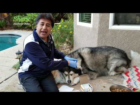 How To Clean Dog Ears | Alaskan Malamute Sheru