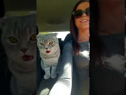 scottish fold cat crazy in car