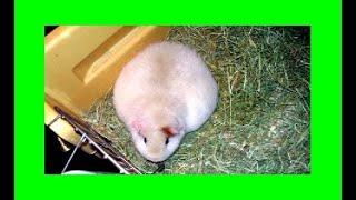 беременность у морских свинок. Как проходила беременность у нашей морской свинки