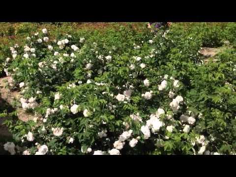 Роза бедренцеволистная колючейшая