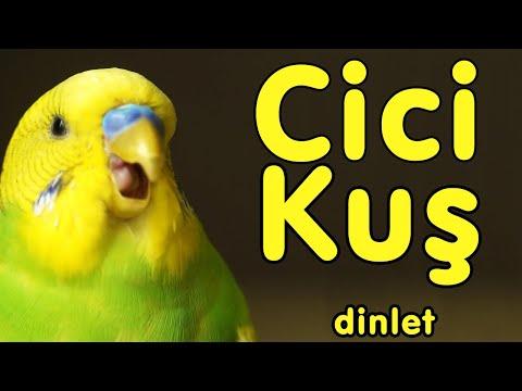 Muhabbet Kuşu Cici Kuş Sesi  kaydı Dinlet , Cici kuş  Konuşturma Egzersizi indir
