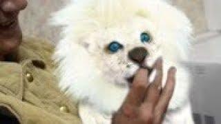 難以置信!價值不菲的5大奇特寵物!極其稀有的碧眼白虎!